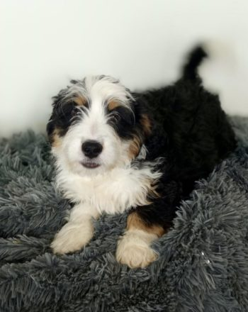 Boy Buster $3500 (Tri Mini Bernedoodle) photo