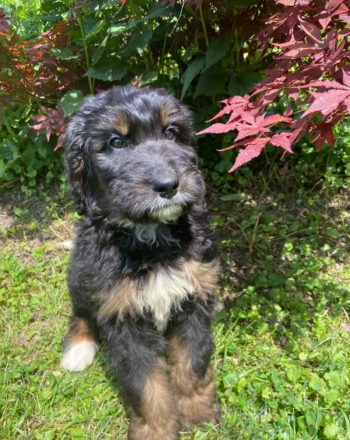 Girl Missy $2000 (Standard Bernedoodle) Click Link Below To See My Video : ) photo