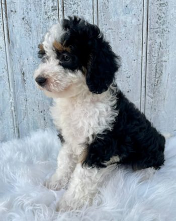 Girl Twinky $3000 (F1b Micro Bernedoodle)Click Link Below To See My Video : ) photo