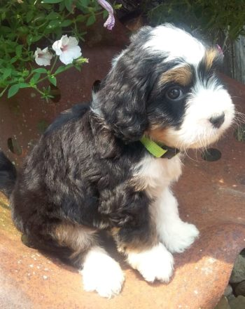 Girl Green $3500 (Mini Bernedoodle) Click Link Below To See My Video : ) photo