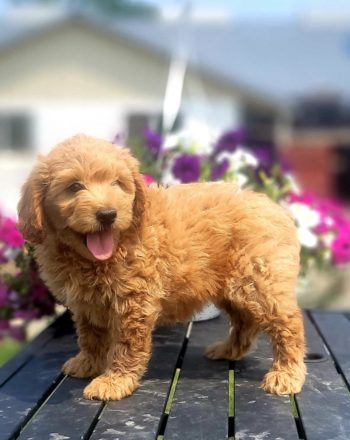 Girl Sapphire $2500 (Mini Goldendoodle)Available 7.24.21 photo