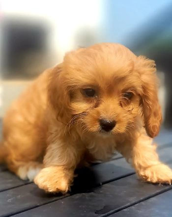 Girl Sally (Cavapoo) $2400 Click Link Below To See My Video : ) photo