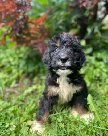 Girl Haley $2000 (Standard Bernedoodle)Click Link Below To See My Video : ) photo