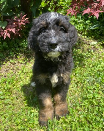 Boy Fido $2000 (Standard Bernedoodle)Click Link Below To See My Video : ) photo